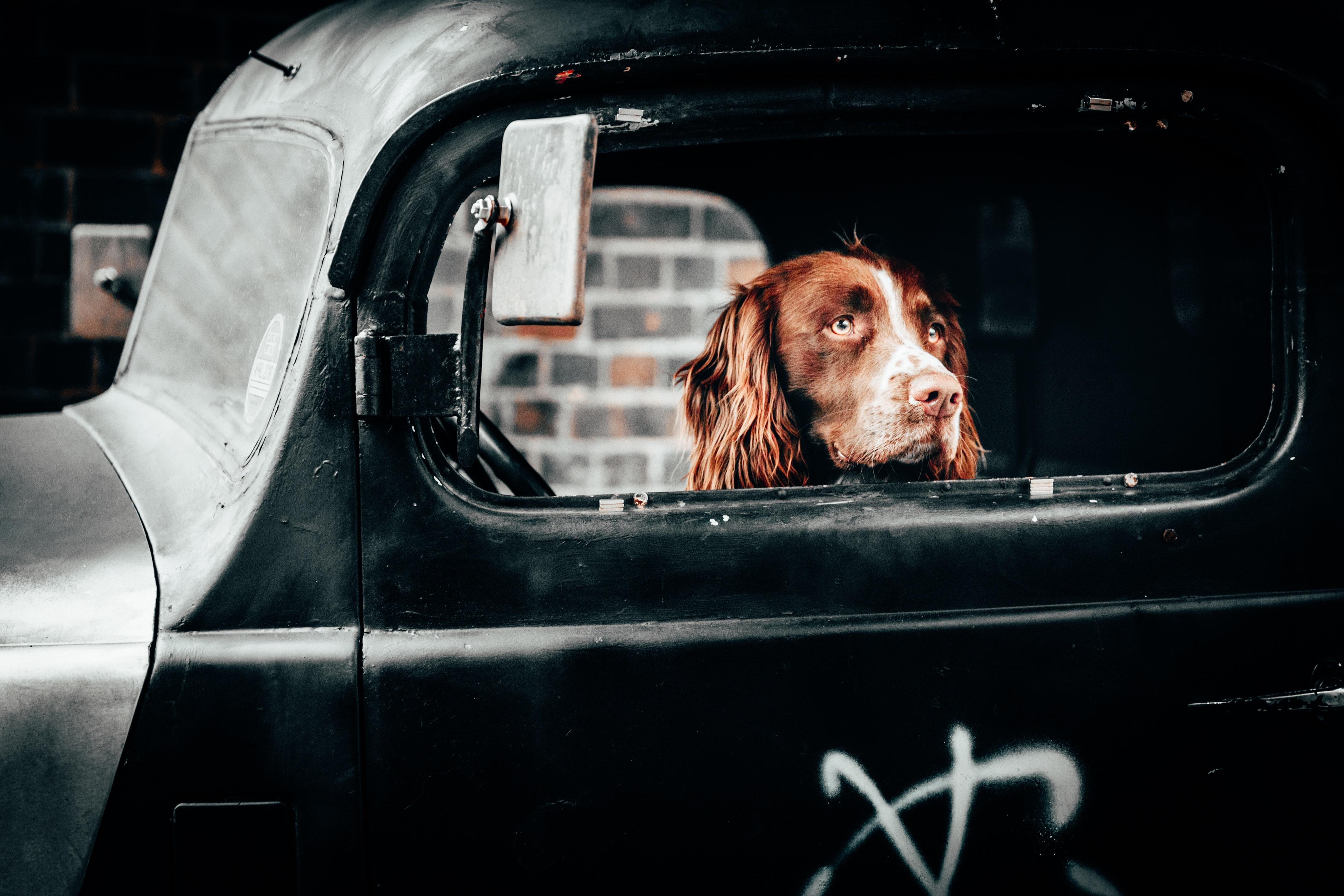 adorable-animal-black-car-2536231